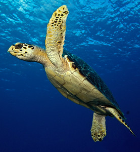 turtle - hawksbill turtle juvenile 2