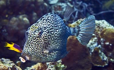 boxfish - honeycombed cowfish and spanish hogfish 2