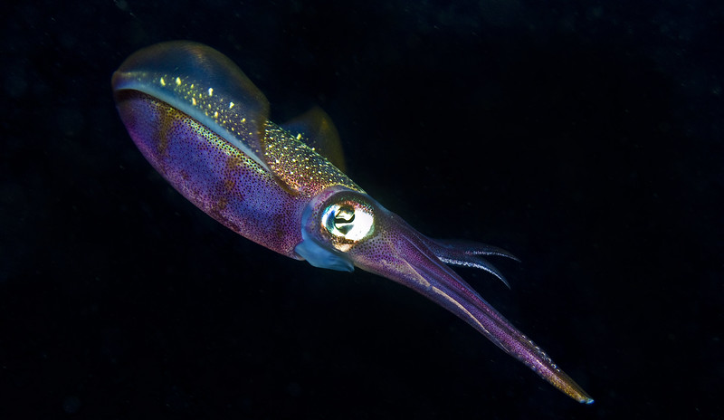 squid - carribean squid 3