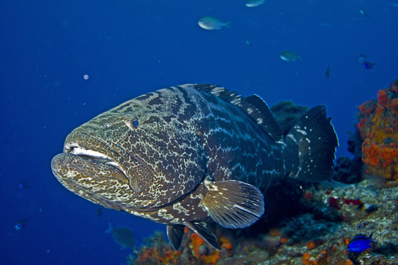 grouper - black grouper