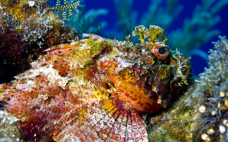 scorpionfish - spotted