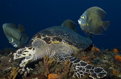 turtle - hawksbill turtle 4