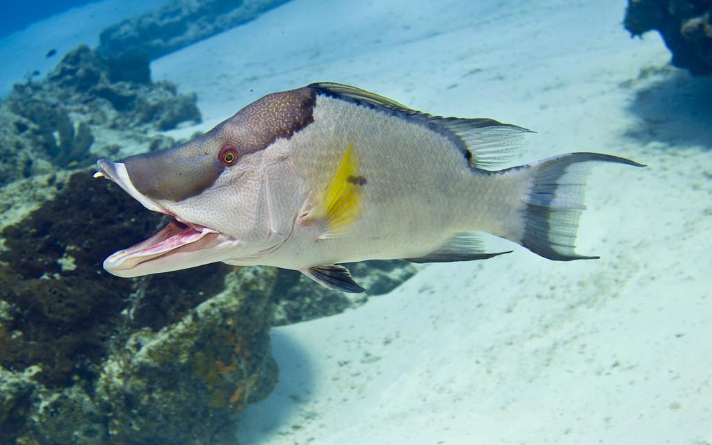hogfish 12