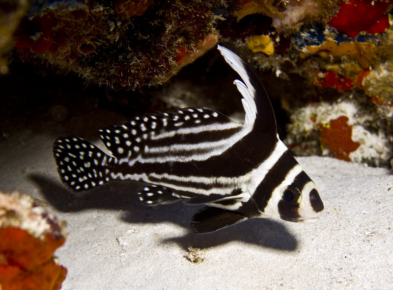 drumfish - spotted drum