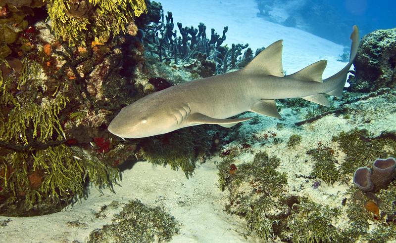 shark - nurse shark
