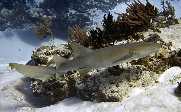 shark - nurse shark 2