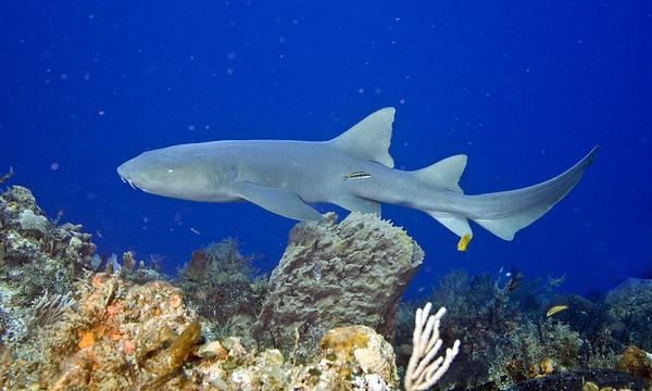 shark nurse