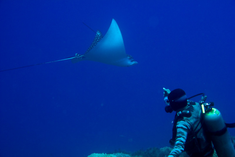 eagle ray with spear in its back