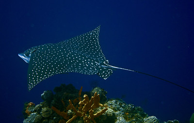 eagleray8