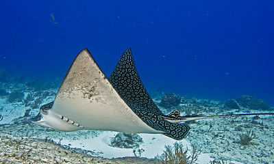 eagleray 1