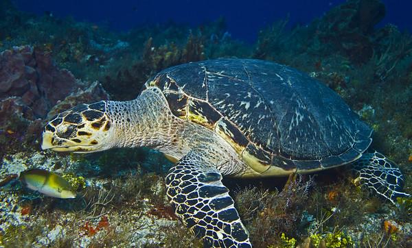turtle - hawksbill turtle 2