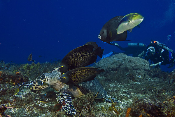 turtle and angelfish6