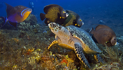 turtle  hawksbill and french angelfish and queen trigger