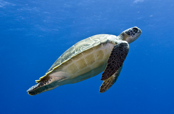 turtle - green turtle 2