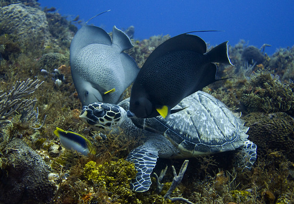 turtle - hawksbill with gray angelfish