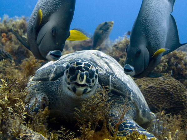 green turtle and gray angelfish