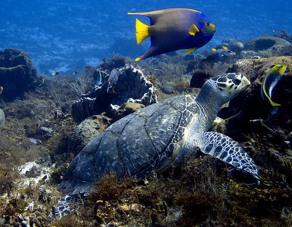 turtle hawksbill and queen angel