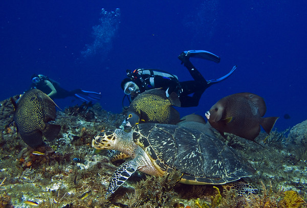 turtle and angelfish4
