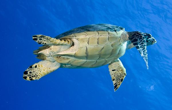 turtle - hawksbill