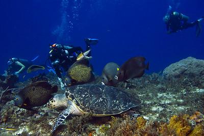 turtle and angelfish3
