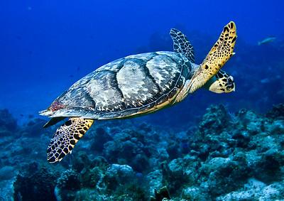 turtle hawksbill