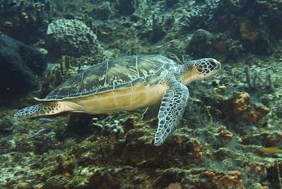 turtle - green turtle