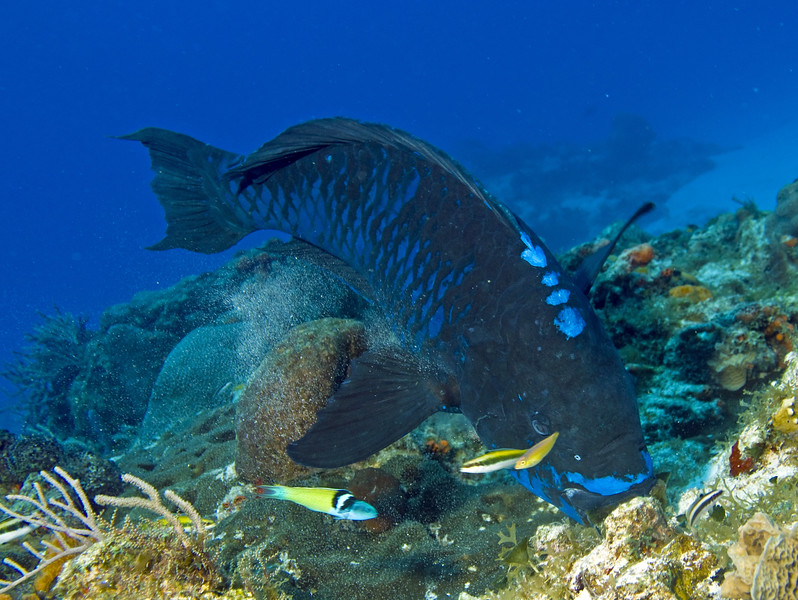 parrotfish - midnight blue
