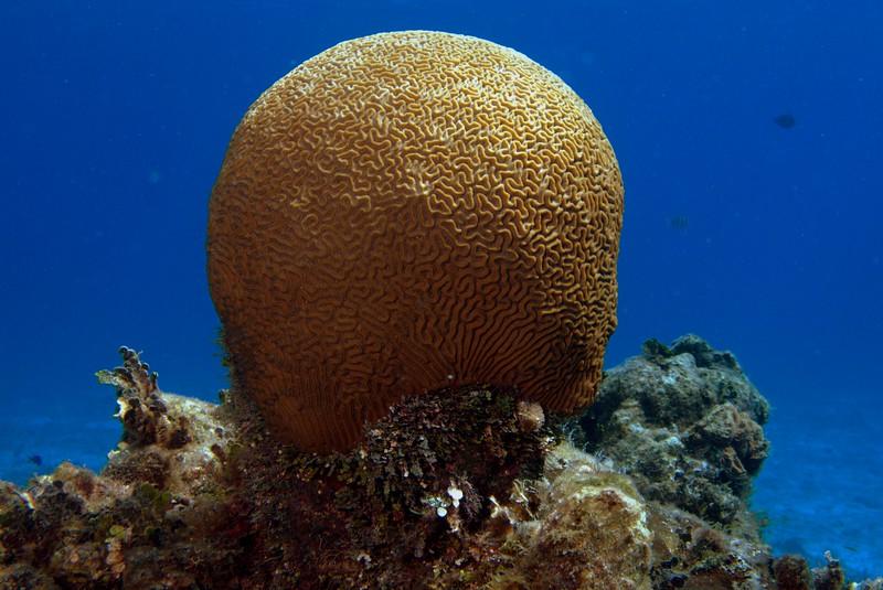 coral - brain
