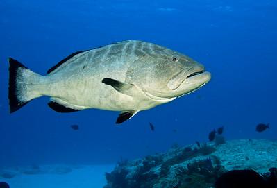 37-grouper - black 5
