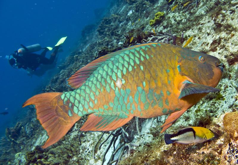parrotfish - rainbow