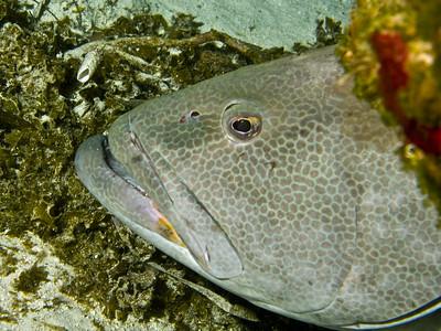 46-grouper - black