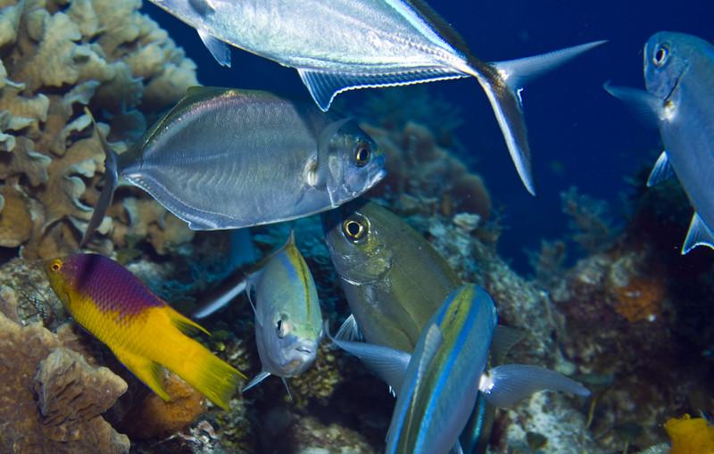 hogfish 2