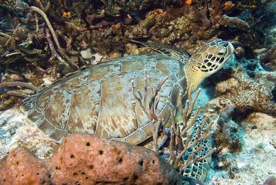 48-turtle - green 2