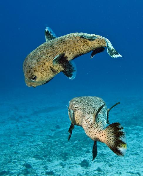 porcupine fish 3