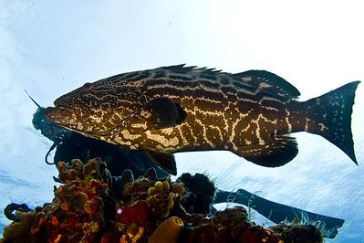 38-grouper - black 4