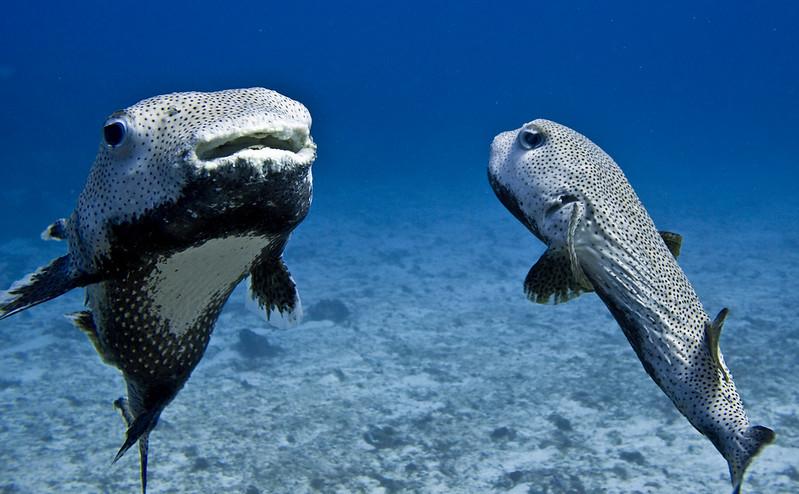 porcupine fish 4