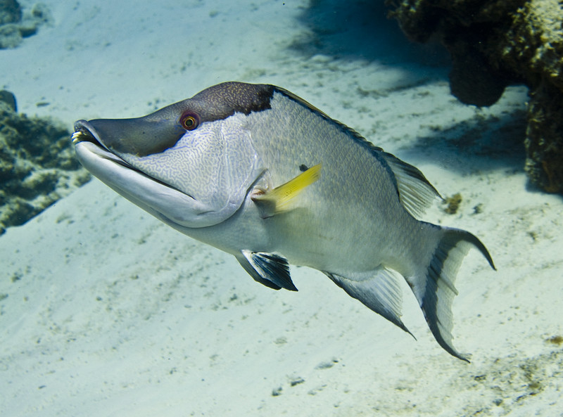 hogfish 32