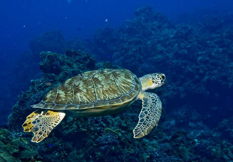 turtle - green 4