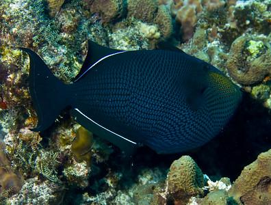 35-triggerfish - black durgon