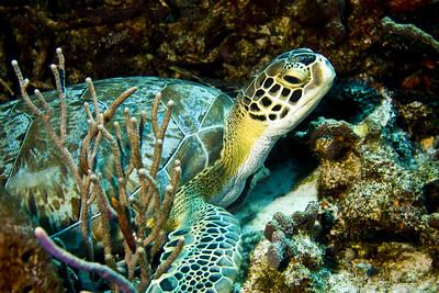 50-turtle -  green