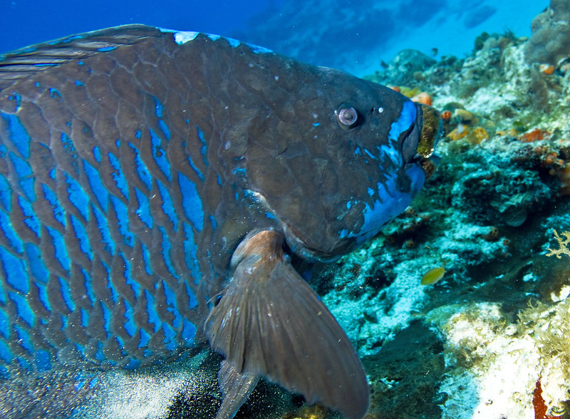 parrotfish - midnight blue 3