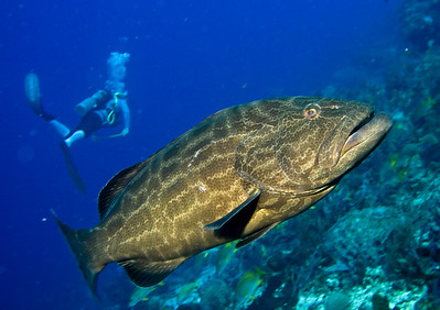 40-grouper - black 2