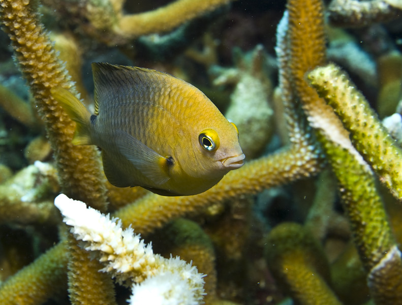 damselfish - threespot