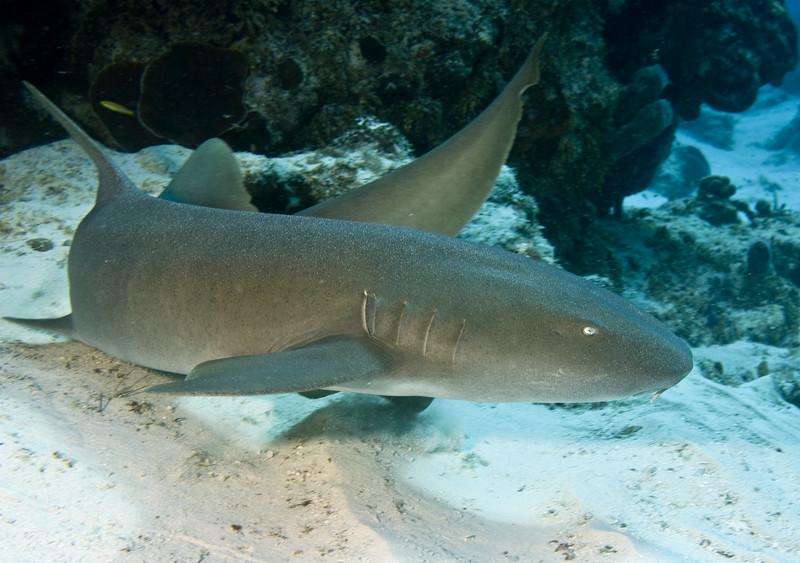 shark - nurse