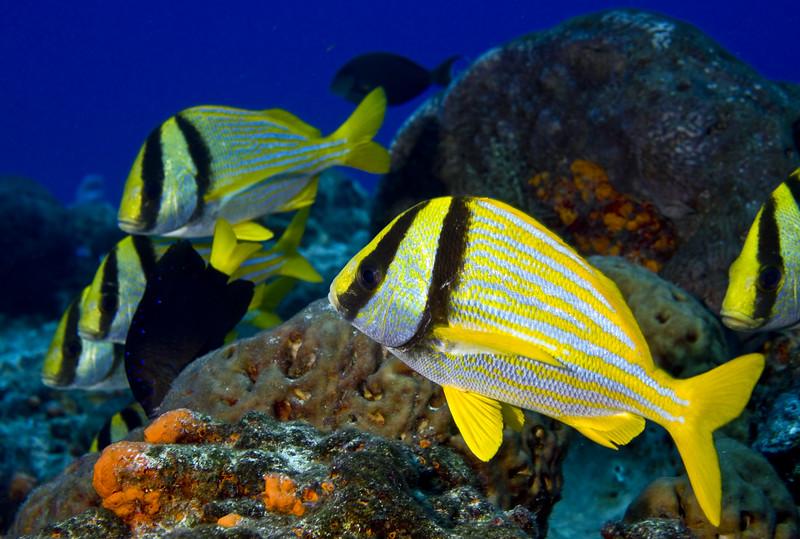 34-porkfish