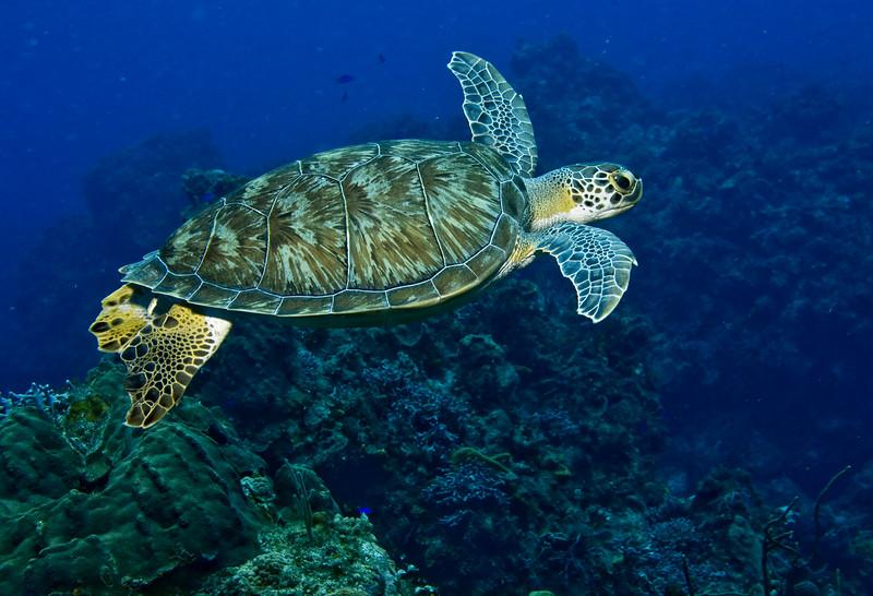 turtle - green 3
