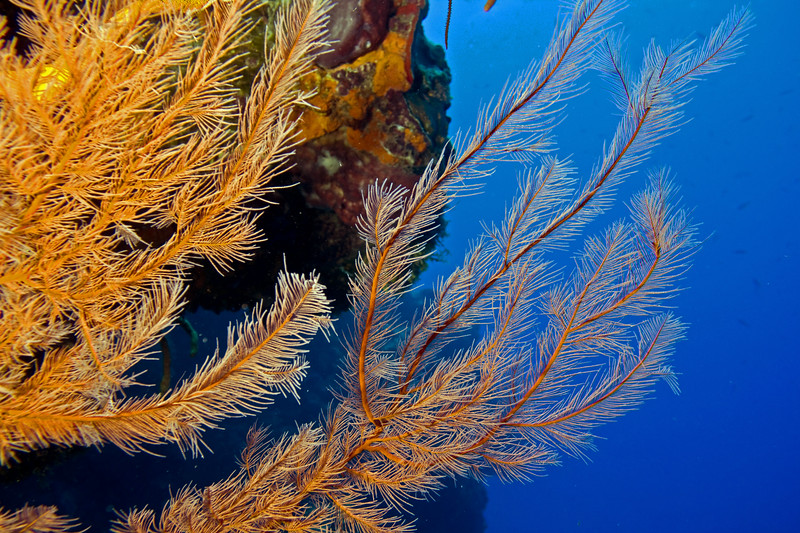 feather black coral