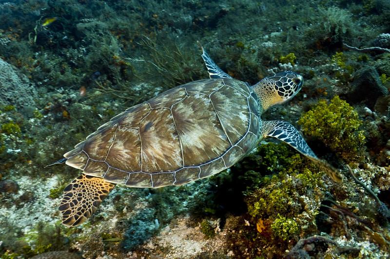 19-turtle - green