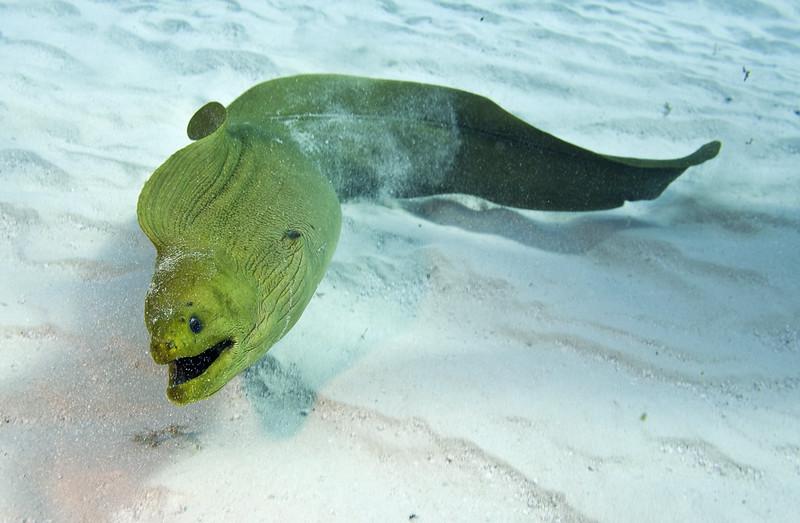 moray eel 4