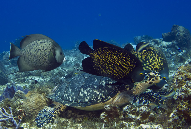 turtle and angelfish 3